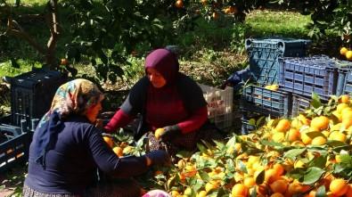 Kadınlar Günü'nü Portakal Hasadıyla Geçirdiler