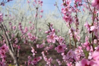 Hatay'da Çiçek Açan Ağaçlar Kartpostallık Görüntüler Oluşturdu