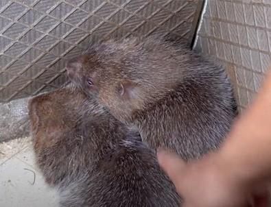 Çin'den skandal: 'Bambu sıçanı yemek için 100 sebep'