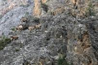 SıRADıŞı - Gümüşhane Dağlarının En İhtişamlı Süsü Açıklaması Yaban Keçisi