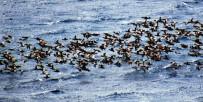 AMATÖR - Bodrum'a Turistler Değil Ördekler Akın Etti