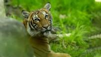 SEMPTOM - Hayvanat bahçesindeki kaplan Nadia'da koronavirüs çıktı