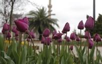 LALE SOĞANI - Baharla Birlikte Laleler Kartpostallık Görüntüler Oluşturdu