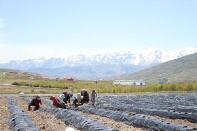 Niğdeli Çiftçiler 300 Dekar Arazide Çilek Üretiyor