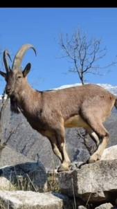 Dağ keçileri sürü halinde görüntülendi!