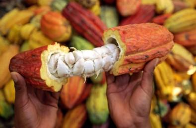 4 bin yıllık şifa kaynağı; Kakao çekirdeği