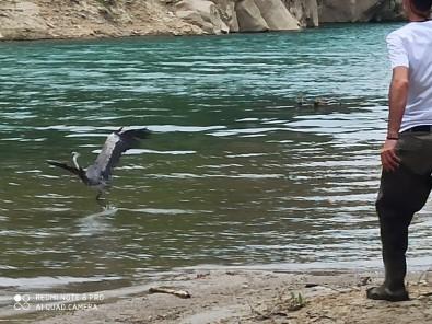 Misinaya Takılan Gri Balıkçıl Kuşu Kurtarıldı