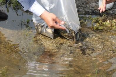 Bitlis'teki Nazik Ve Aygır Göllerine 70 Bin Yavru Balık Bırakıldı