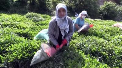 Hopa'da Çay Hasadı İmece Usulüyle Yapılıyor