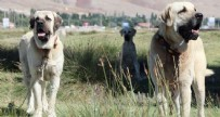 EVLİYA ÇELEBİ - 'Aksaray Malaklısı', anne karnında talep alıyor! Fiyatı 60 bin TL