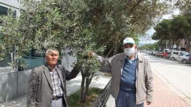 Burhaniye'de Son Yağışlar Zeytine İlaç Oldu