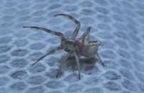 EDİRNE - Görenlerin gözlerine inanamadığı 'insan yüzlü örümcekler' her yerdeler