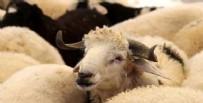 HAYVAN - Kurbanlık hayvandan korona bulaşır mı? Bilim Kurulu Üyesi Prof. Dr. Levent Yamanel'den kurban keseceklere kritik uyarı!