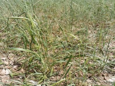 11 Bin Dekarlık Tarım Arazisini Dolu Vurdu