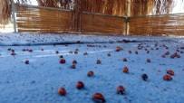 YUNANISTAN - Saros Körfezi'nde uğur böceği istilası! İşte sebebi...