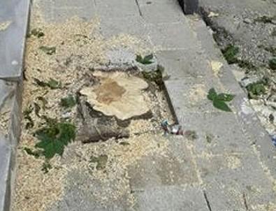 CHP'li Küçükçekmece Belediyesi meyve ağaçlarını kesti