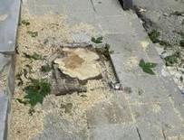 SKANDAL - CHP'li Küçükçekmece Belediyesi meyve ağaçlarını kesti
