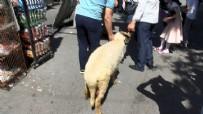 SULTANAHMET CAMII - Ayasofya Camii açılışına kurbanlık koçla geldi...