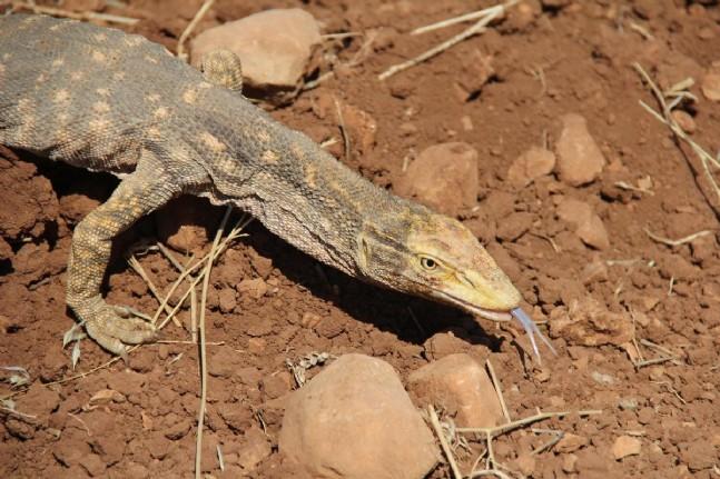 rehabilitasyon - Şanlıurfa'da bulunan çöl varanı doğaya bırakıldı