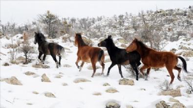 KARAKAYA - Murat Dağı'nın Yılkı Atları İlk Kez Görüntülendi