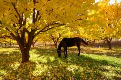 Iğdır'da kayısı bahçelerinde sonbahar