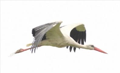 19 MAYıS - Kızılırmak Deltası Kuş Cenneti Leyleklerin Gelişiyle Şenlendi