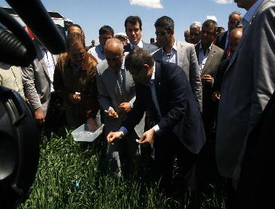 Bakan Davutoğlu Süne Mücadelesi İçin Buğday Tarlasına Girdi