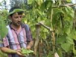 Ondokuzmayıs İlçesinde Yetişen 'Nebyan Fasulyesi'ni Islah Çalışması Başladı