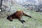 Yılkı Atlarını Tüfekle Öldüren Kişi Yakalandı