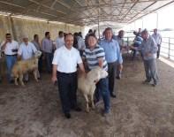 Kırşehir'de Yetiştiricilere Koç Dağıtıldı