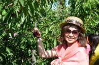 Uluborlu'da Kiraz Hasadı Başlıyor
