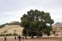 260 Yıllık Kızılçam Ağacı Büyük İlgili Görüyor