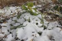 Ağrı'da 2 Bin Lahana Kar Altında Kaldı