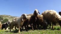 Koyun Ve Keçiler, Melodiler Eşliğinde Meralara Salındı