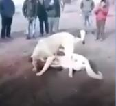 Köpekleri Dövüştürdüler, Çocuklara İzlettirdiler
