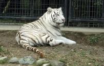 BEYAZ KAPLAN - Japonya'da hayvanat bahçesinde dehşet
