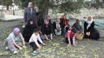 Gömeç'te Zeytin Hasat Şenliği Coşkusu