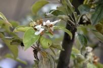 FAHRI YıLDıZ - Elma Ağacı Sonbaharda Çiçek Açtı
