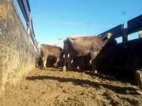 10 Çiftçiye 50 Tane Büyükbaş Hayvan Dağıtıldı