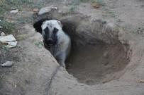 Kangal Köpeği Sıcaktan Korunmak İçin Çukur Kazdı
