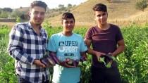Köylüler Asırlık Tohumla Patlıcan Üretiyor