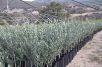 Manisa'da Arbequina Çeşidi Zeytin Fidanına İlgi Artıyor