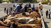 ÜNAL KOÇ - Gercüş'te Genç Çiftçilere Büyükbaş Hayvan Dağıtıldı