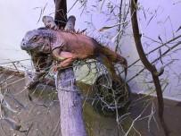 İGUANA - Muğla'da Bulunan İguananın Yeni Evi Kocaeli Oldu
