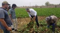 ET ÜRETİMİ - NBŞ'de Kota Düştü Pancar Üreticisinin Yüzü Güldü