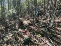 Kastamonu'da Ayı Büyükbaş Hayvanı Parçaladı