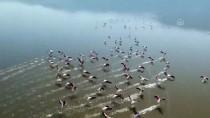 TUZ GÖLÜ - Acıgöl'de Flamingoların Görsel Şöleni