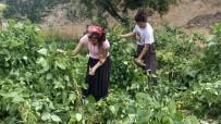 BARBUNYA - İslahiye'nin Bin 600 Rakımlı Huzurlu Yaylası'nda Son Ürünler Hasat Ediliyor