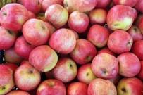HARŞİT ÇAYI - Gümüşhane Elmaları Hasat Edilmeye Başlandı