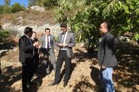 MEHMET KARAKAYA - Demirci'de Kestane Hasadı Başladı